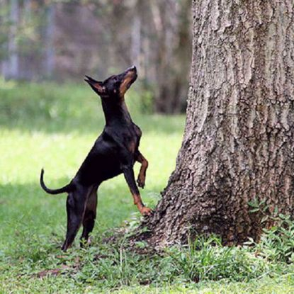 Toy Manchester Terrier 2 Test Combo