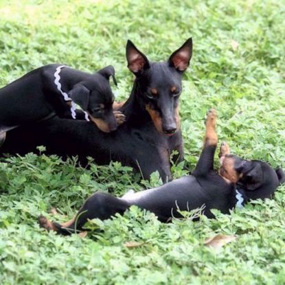 Toy Manchester Terrier 3 Test Combo