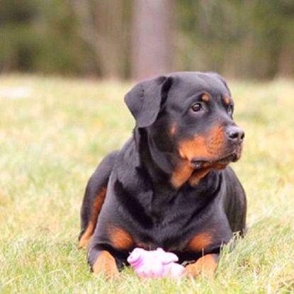 Rottweiler Combo Test - Leukoencephalomyelopathy (LEMP) & Neuroaxonal Dystrophy (NAD)