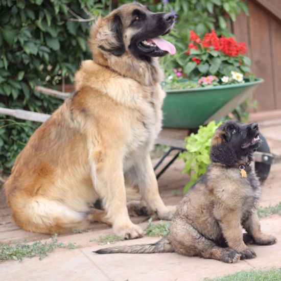 Picture of Leonberger 2 Test Combo