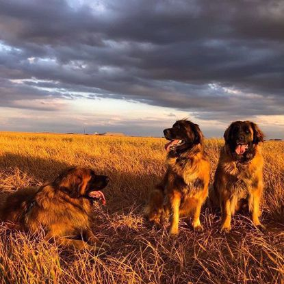 Picture of Leonberger 4 Test Combo