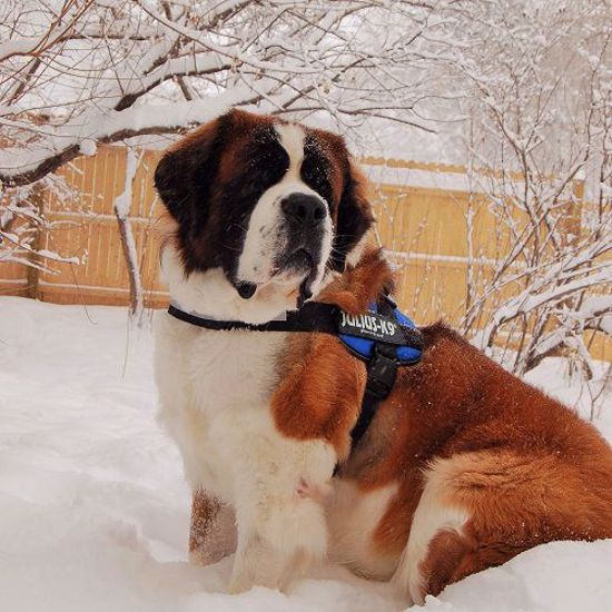 Picture of Saint Bernard Laryngeal Paralysis & Polyneuropathy (LPPN3)